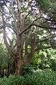Podocarpus totara kz4.jpg