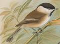 Poecile montanus salicarius Naumann.png