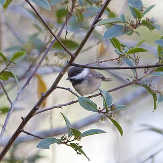 Chestnut-backed chickadee - P. r. barlowi