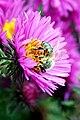 Poland-01810 - Busy Bee (OFF) (32001237151).jpg