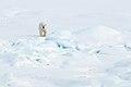 Polar Bear (4370261037).jpg