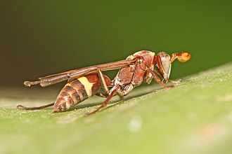 Paper wasp - Paper wasp on a spider lily leaf – they are considered beneficial by gardeners.