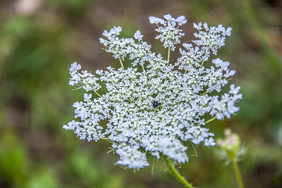 Poljski cvet