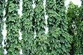 Polyalthia longifolia.jpg