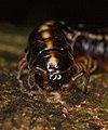 Polydesmida yellow stripe Ecuador 02.jpg