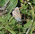 Polyommatus icarus (Dos Puntos) - Flickr - S. Rae (5).jpg