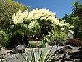 Ponytail Tree in Flower (5156258444).jpg