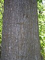 Populus trichocarpa bark-8-27-04.jpg