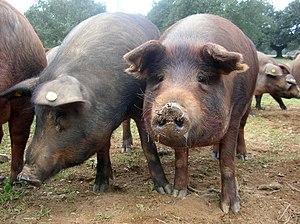 Porc ibérique (cerdo ibérico) dans la sierra n...