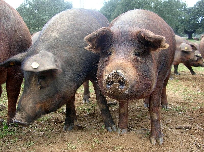 File:Porc ibérique Cerdo ibérico.JPG