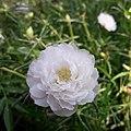 PortulacaGrandiflora.jpg