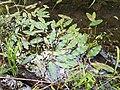 Potamogeton nodosus sl14.jpg
