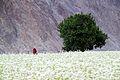 Potato fields around Turtuk - Nubra Valley (10020090906).jpg