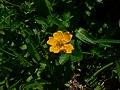 Potentilla flabellifolia 21656.JPG