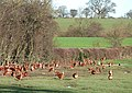 Poultry in the Field, near Harley, Shropshire - geograph.org.uk - 631573.jpg