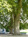 Preuilly-platanes-champ-foire-tronc.JPG