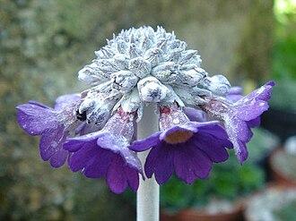 Primula - Primula capitata ssp. mooreana