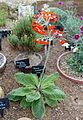 Primula cockburniana - RHS Garden Harlow Carr - North Yorkshire, England - DSC01507.jpg