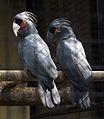 Probosciger aterrimus -Melaka Zoo-8a-2c.jpg