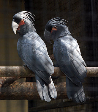 Palm cockatoo - At Melaka Zoo, Malaysia