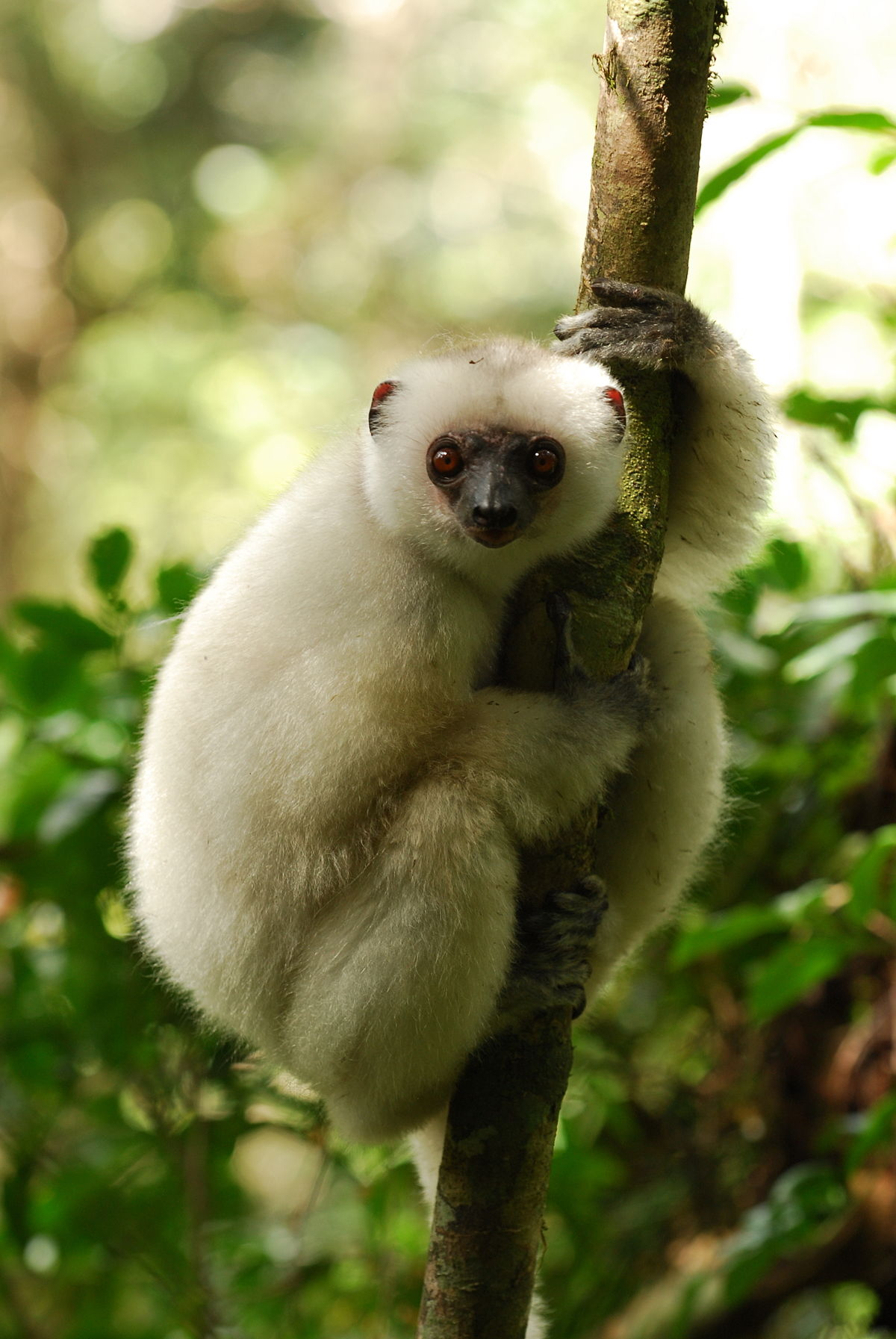 The World S 25 Most Endangered Primates Wikipedia