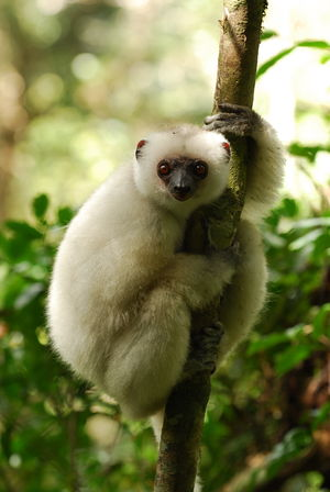 The World's 25 Most Endangered Primates - The silky sifaka (Propithecus candidus), found only in Madagascar, has been on The World's 25 Most Endangered Primates list since its inception in 2000.  Between 100 and 1,000 individuals are left in the wild.