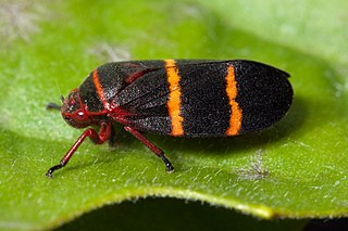 Froghopper superfamily of insects