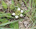 Prunella laciniata - Flickr - S. Rae.jpg