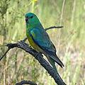 Psephotus haematonotus -Canberra, Australian Capital Territory, Australia -male-8.jpg