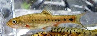 Burchells redfin species of fish