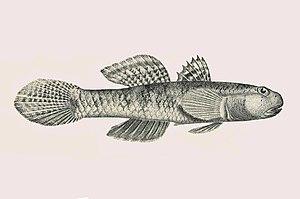 Pseudogobius - Pseudogobius olorum