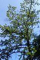 Pseudolarix amabilis kz3.jpg