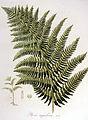 Pteris aquilina — Flora Batava — Volume v6.jpg