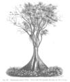 Pterocarpus indicus Taub127.png