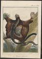 Pteromys petaurista - 1700-1880 - Print - Iconographia Zoologica - Special Collections University of Amsterdam - UBA01 IZ20400095.tif