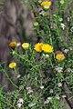 Pteronia sp. (Asteraceae) (4581443215).jpg