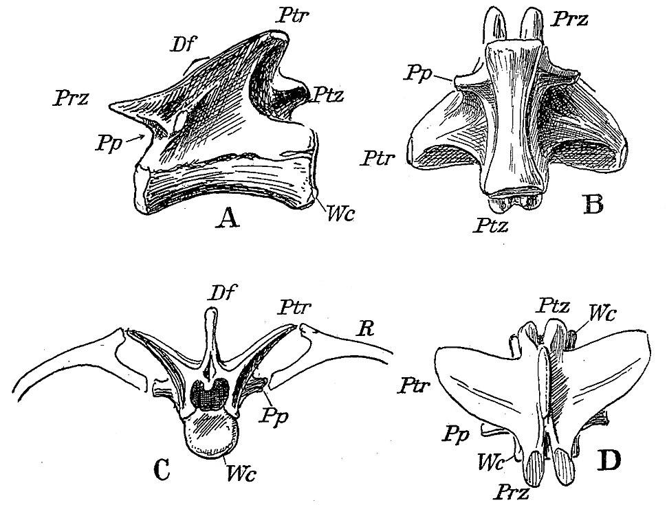 Pterospondylus trielbae