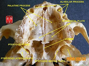 Pterygoid processes of the sphenoid - Image: Pterygoid lateral plate