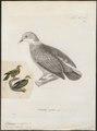 Ptilinopus perlatus - 1700-1880 - Print - Iconographia Zoologica - Special Collections University of Amsterdam - UBA01 IZ15600075.tif
