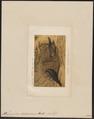 Ptilonorhynchus holosericeus - 1872 - Print - Iconographia Zoologica - Special Collections University of Amsterdam - UBA01 IZ16400217.tif