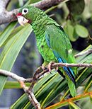 A green parrot with blue-tipped wings, a red forehead, and white eye-spots