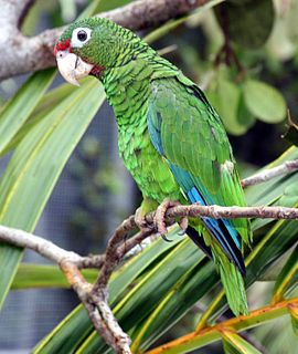A parrot. The only extant bird endemic to Puerto Rico.