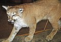Puma concolor (mountain lion) (southern Colorado, USA) 2 (49189291777).jpg