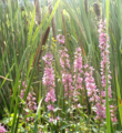 Purple Loosestrife (9328588562).png