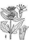 Pycnanthemum pycnanthemoides var. pycnanthemoides001