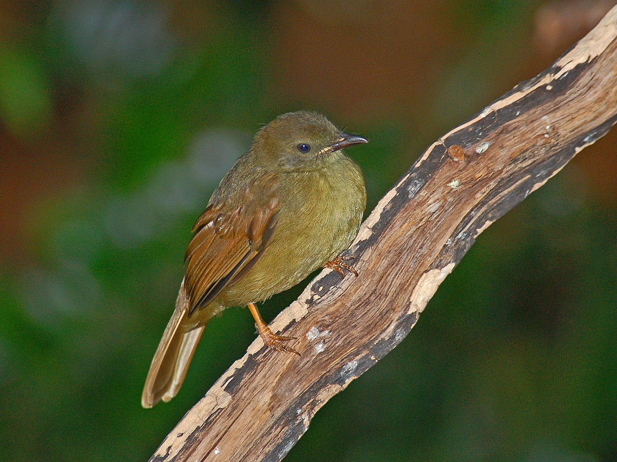 Little greenbul - Wikipedia