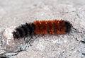 Pyrrharctia isabella - Caterpillar - Devonian Fossil Gorge - Iowa City - 2014-10-15 - image 2.jpg