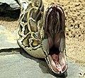 Python molurus bivittatus open mouth.jpg