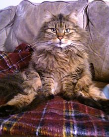 Maine Coon Wikipedia