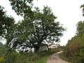 Quercus frainetto Bosilegrad 1.JPG